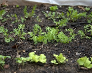 Lettuce in the Homestead Garden