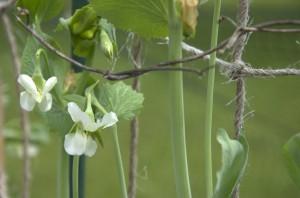 Pea flowers in the garden